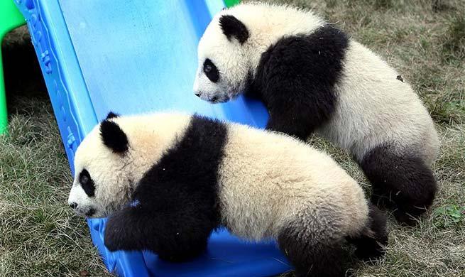 """Pigeon pair giant panda cubs named """"Ban Ban"""", """"Yue Yue"""""""