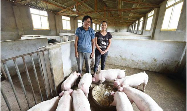 Pigs raising cooperative founded in Yunnan to alleviate poverty