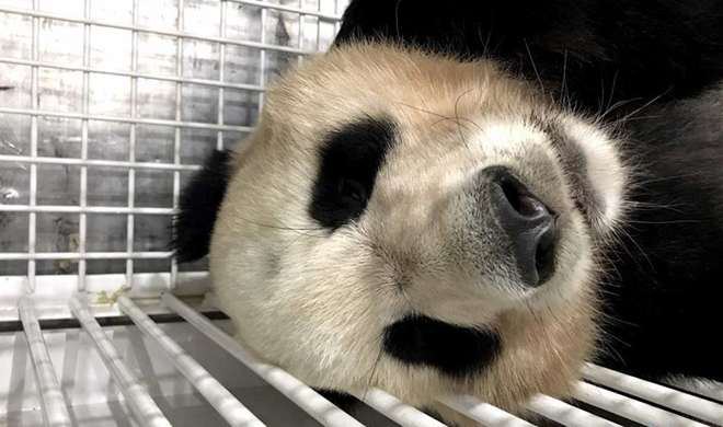 Three giant pandas return to Chengdu from Japan to start new life