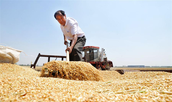 Summer wheat harvested across China