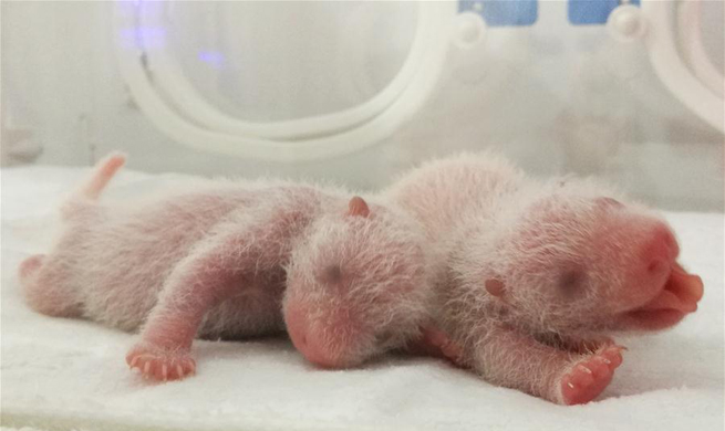 Three panda cubs born in NW China's Shaanxi Province