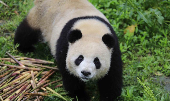 "Giant pandas ""Meng Meng"", ""Jiao Qing"" leave for Germany"