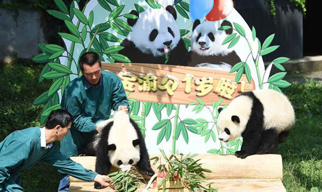 Panda twins celebrate first birthday at Chongqing Zoo