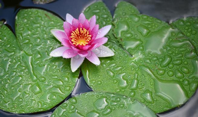 Lotus flowers bloom at Liuzhou Expo Garden in SW China's Guangxi