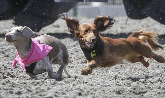Annual Wiener Dog Race held in Vancouver, Canada