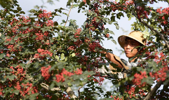 Farmers busy with picking Sichuan peppers as harvest season begins
