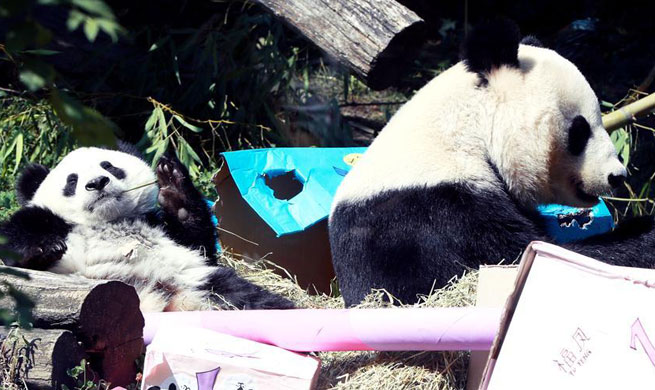 Giant panda twins celebrate first birthday at Schoenbrunn zoo