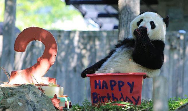 Giant panda Beibei celebrates 2-year-old birthday in U.S.