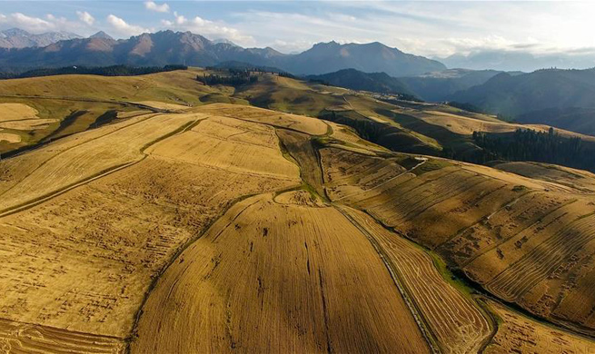 Harvest scenery of wheat fields in China's Xinjiang