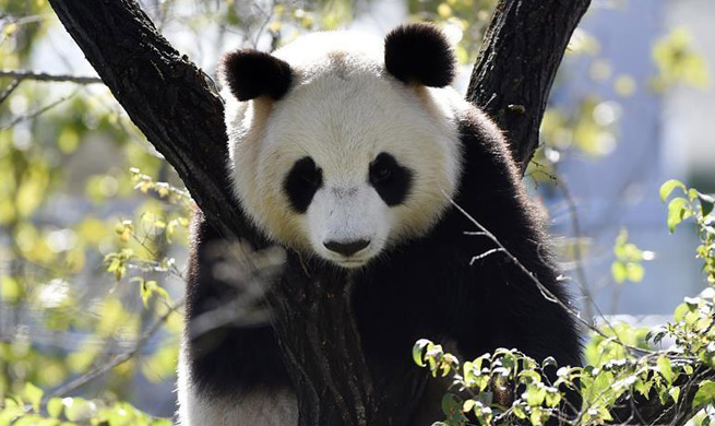Four pandas from SW China make debut in China's Shenyang