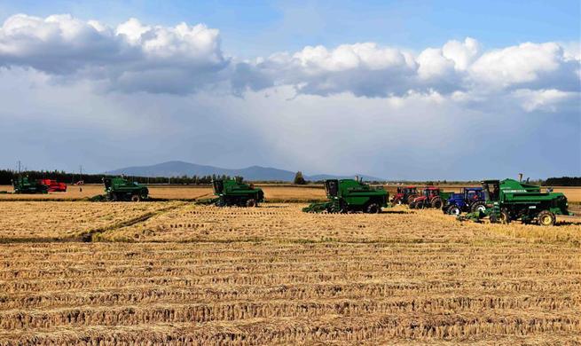 Tractors harvest on paddy field in NE China's Heilongjiang
