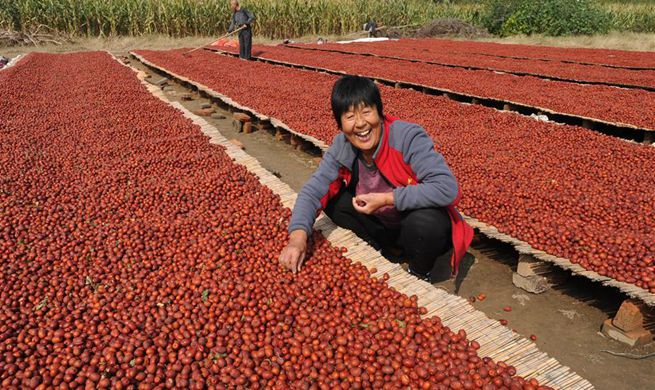 N China's Hebei witnesses great harvest season of red dates