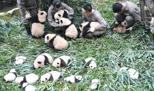 China giant panda center welcomes 42 baby pandas in 2017, a new record high
