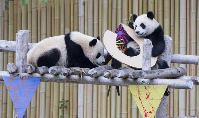 Canadian-born giant panda twins celebrate 2nd birthday at Toronto Zoo