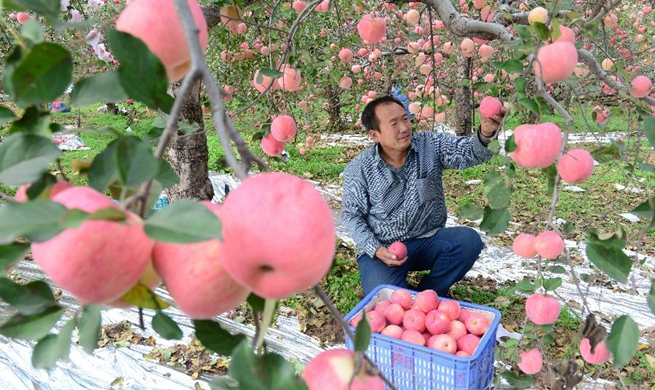 Apples harvested in in Gangdi Village, China's Hebei