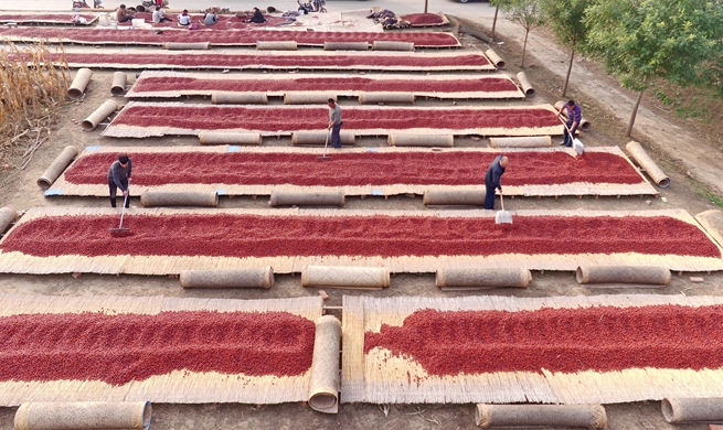 Red dates fields have bumper harvest in N China's Hebei Province