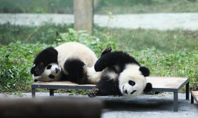 Giant pandas' happy life at Chongqing Zoo