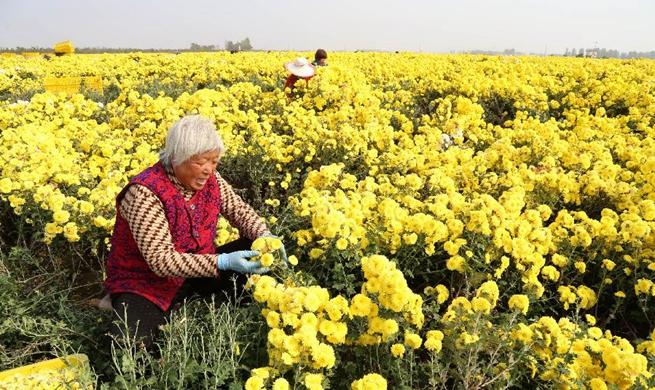 Chrysanthemums in full bloom in C China's Henan