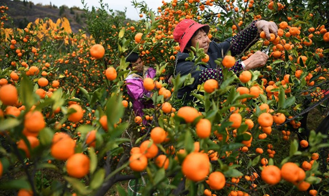 Oranges harvested in east China's Nanfeng county