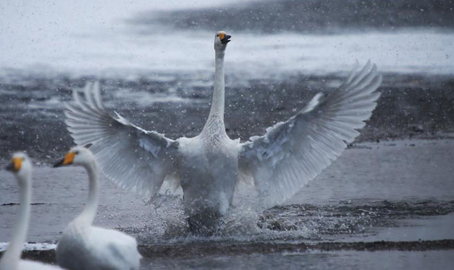Swans play on lakes in east China's Rongcheng
