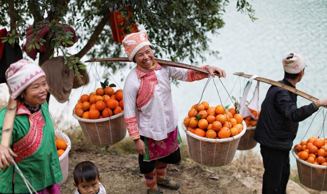 Oranges harvested in SW China's Guizhou