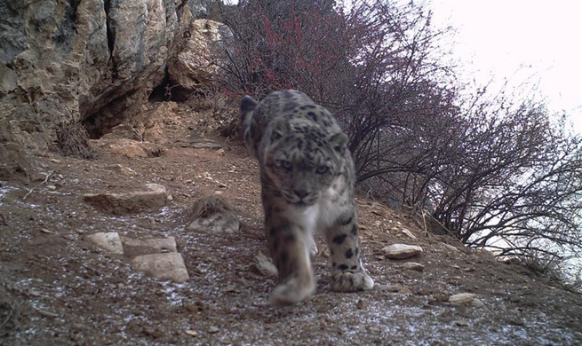 Snow leopards spotted for first time in eastern Tibet