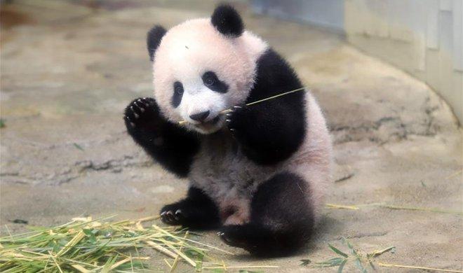 Panda cub Xiang Xiang meets public at Tokyo zoo