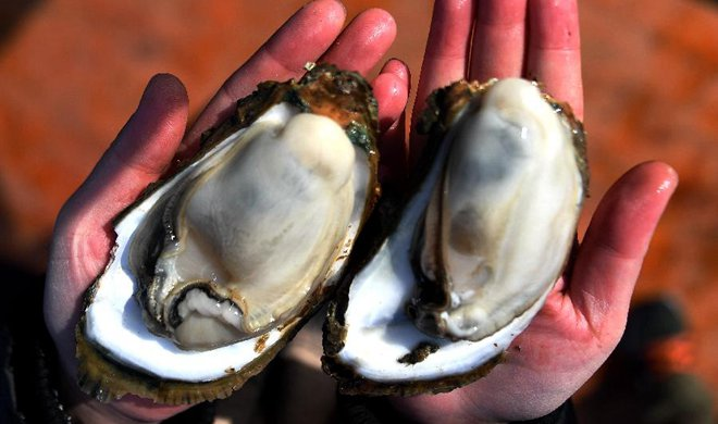 Farmers harvest oysters in China's Guangxi