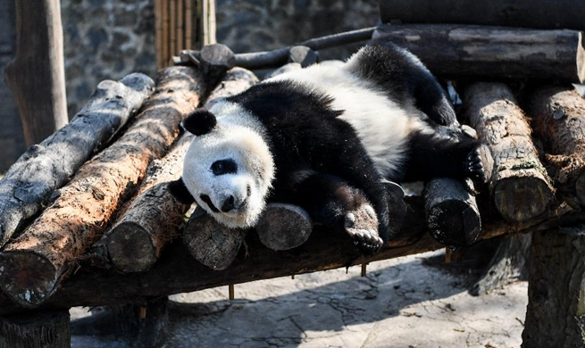Giant Pandas enjoy winter sun bath in China's Sichuan