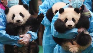 23 panda cubs send New Year greetings