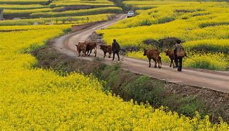 Rape flowers in full bloom in Luoping County, China's Yunnan