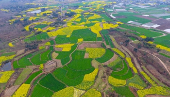 Aerial view of rape flowers in SW China's Sichuan