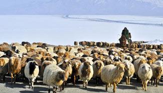 Xinjiang herdsmen transfer their herds to spring pastures