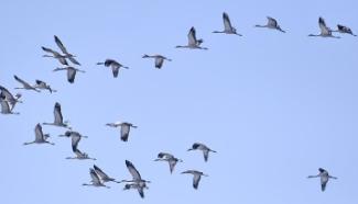 Migratory birds fly over wetland in suburban Beijing