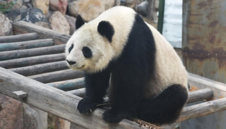 Ageing giant panda returns to hometown in SW China