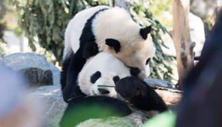 Giant pandas play at Toronto Zoo