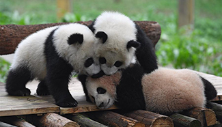 Names for 3 panda cubs revealed in SW China