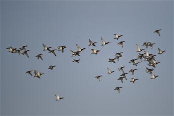 Migrant birds rest in Liaohekou National Nature Reserve in NE China