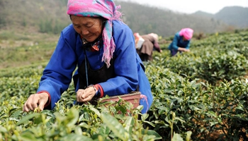Harvest season for spring tea comes in SW China's township