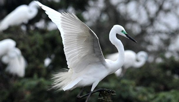 Egrets fly to east China's forest park to breed