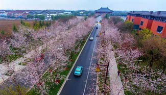 Aerial view of cherry blossoms in east China's Yangzhou City
