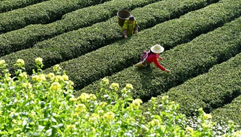 Farmers pick tea leaves at central China's village