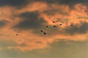 Migrant birds fly over Xingkai Lake Natural Reserve in NE China