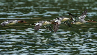 Chinese mergansers spotted in central China's Hubei
