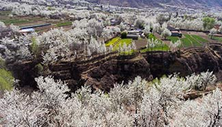 In pics: Pear flowers in Jinjiang Village, SW China