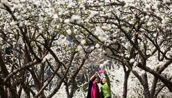In pics: Scenery of plum flowers around China