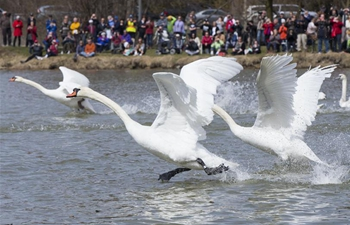 Annual swan parade held in Ontario, Canada