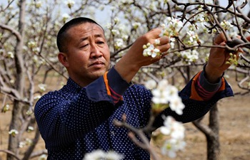 Farmers pollinate pear trees in north China