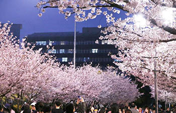 Cherry blossoms seen in Tongji University in Shanghai