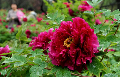 Peonies come into flourishing term in China's Luoyang